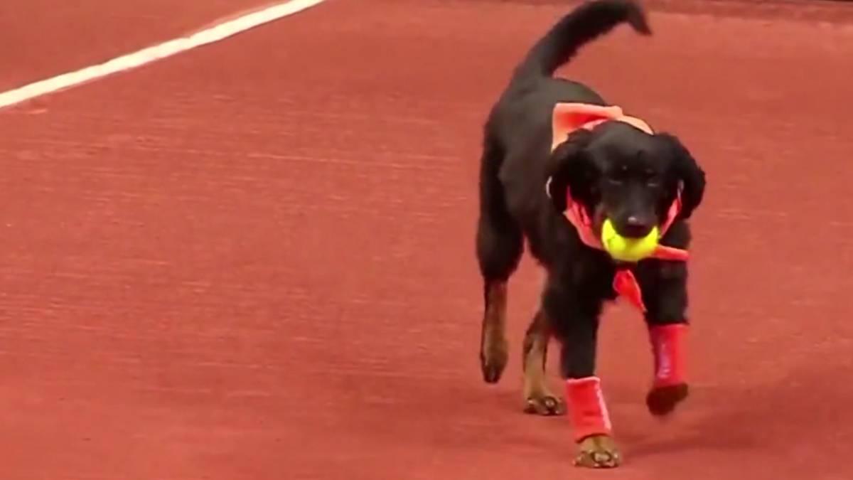 Abierto Brasil perros recogepelotas